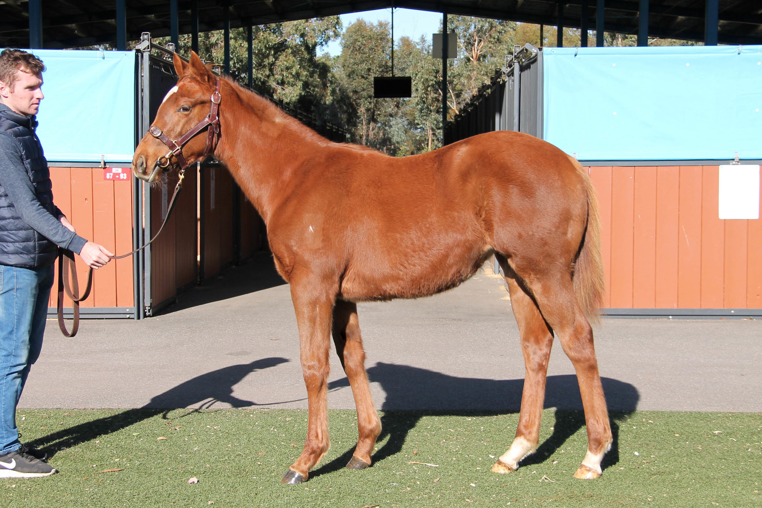 Lot 146 - Palentino x Finishing School (GB) 2018 Filly - Sold for $2,000 to Stonehouse Thoroughbreds VIC