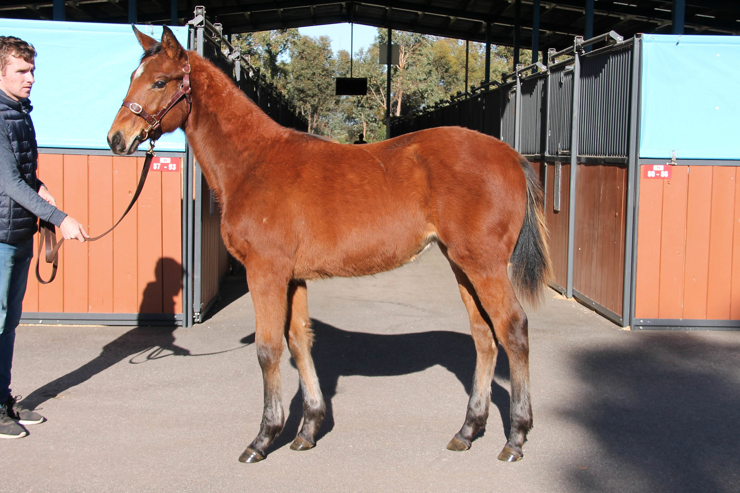Lot 317 - Star Witness x Neriani 2018 Filly - Sold for $10,000 to JR Thoroughbreds & Bluegrass Thoroughbreds NSW