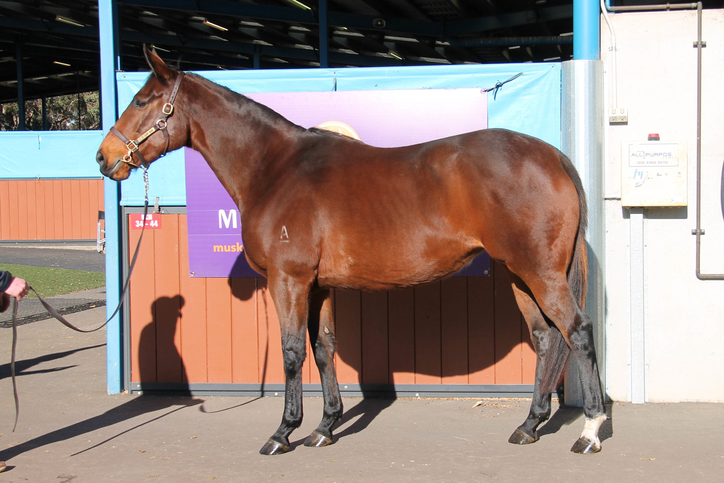 Lot 803 - Warrington - In Foal to Impending - Sold for $100,000 to Cornerstone Stud SA
