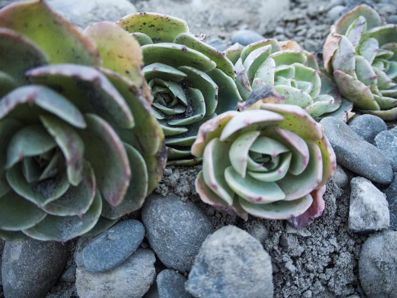 succulent_8.jpg