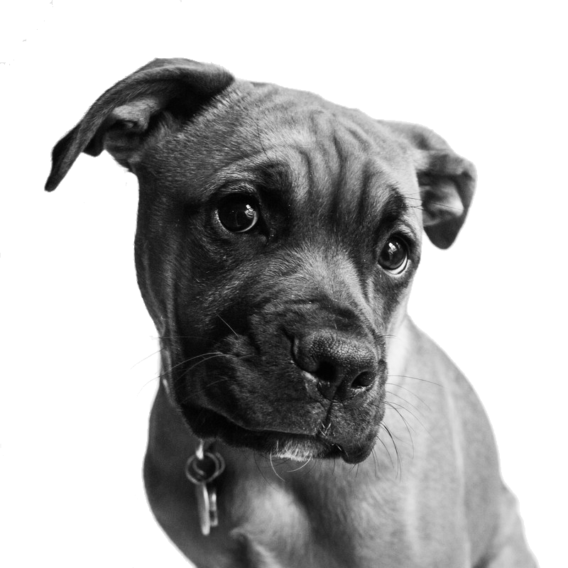 pet-portraits-chester-county-boxer-pit-bull-dog.png