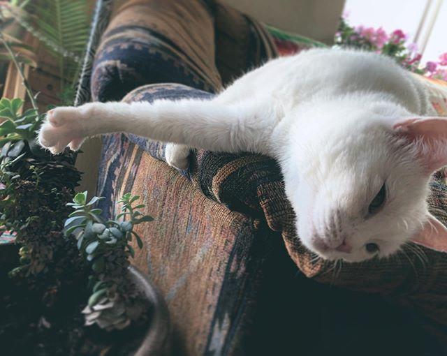 Strrrretchhhhh... 😸🎶 @pam.boozled  #catscatscats #unityoveruniformity #fatstallionfam