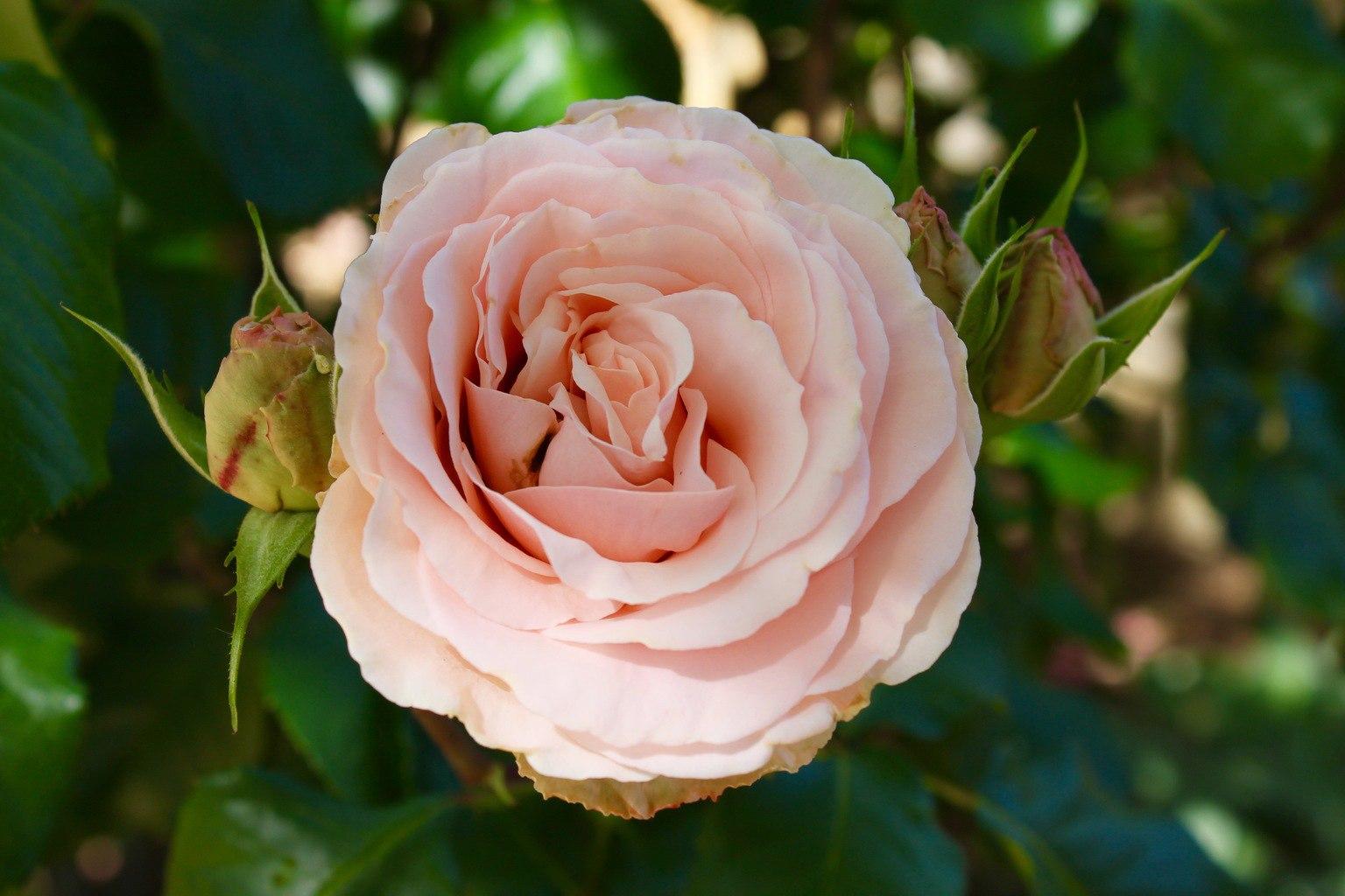 Dia de Sant Jordi St. George Day Flowers