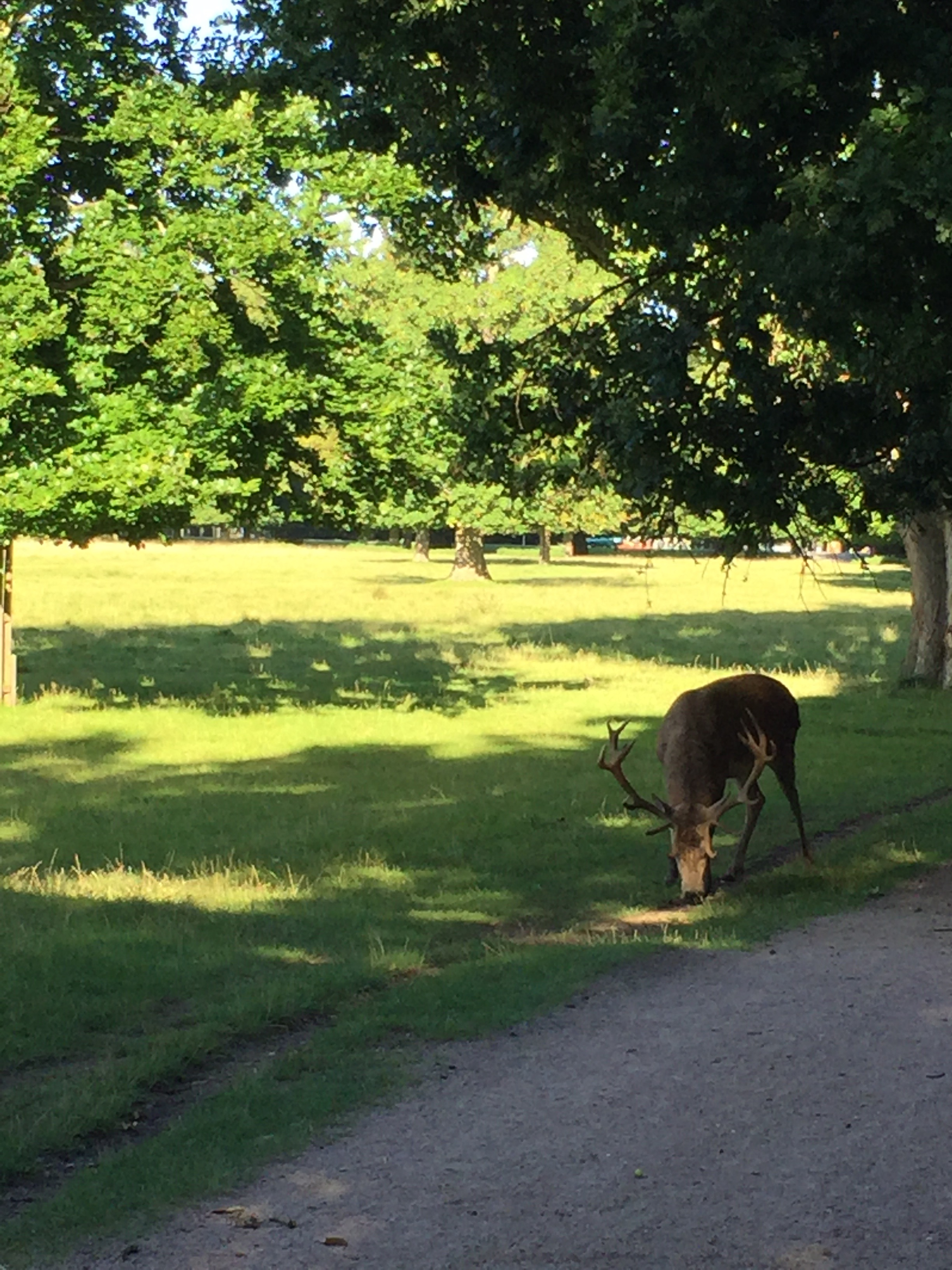 The deer and elk in Bushy Park could care less about the runners passing by