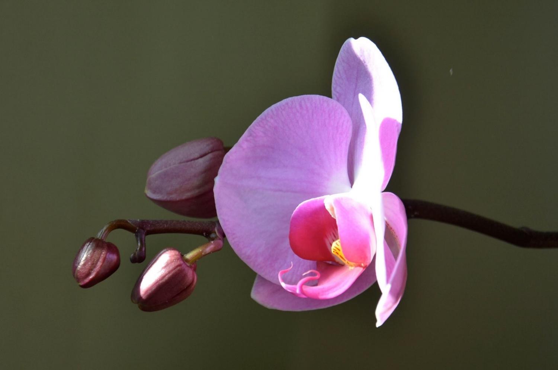 OrchidHopebyMillie.jpg