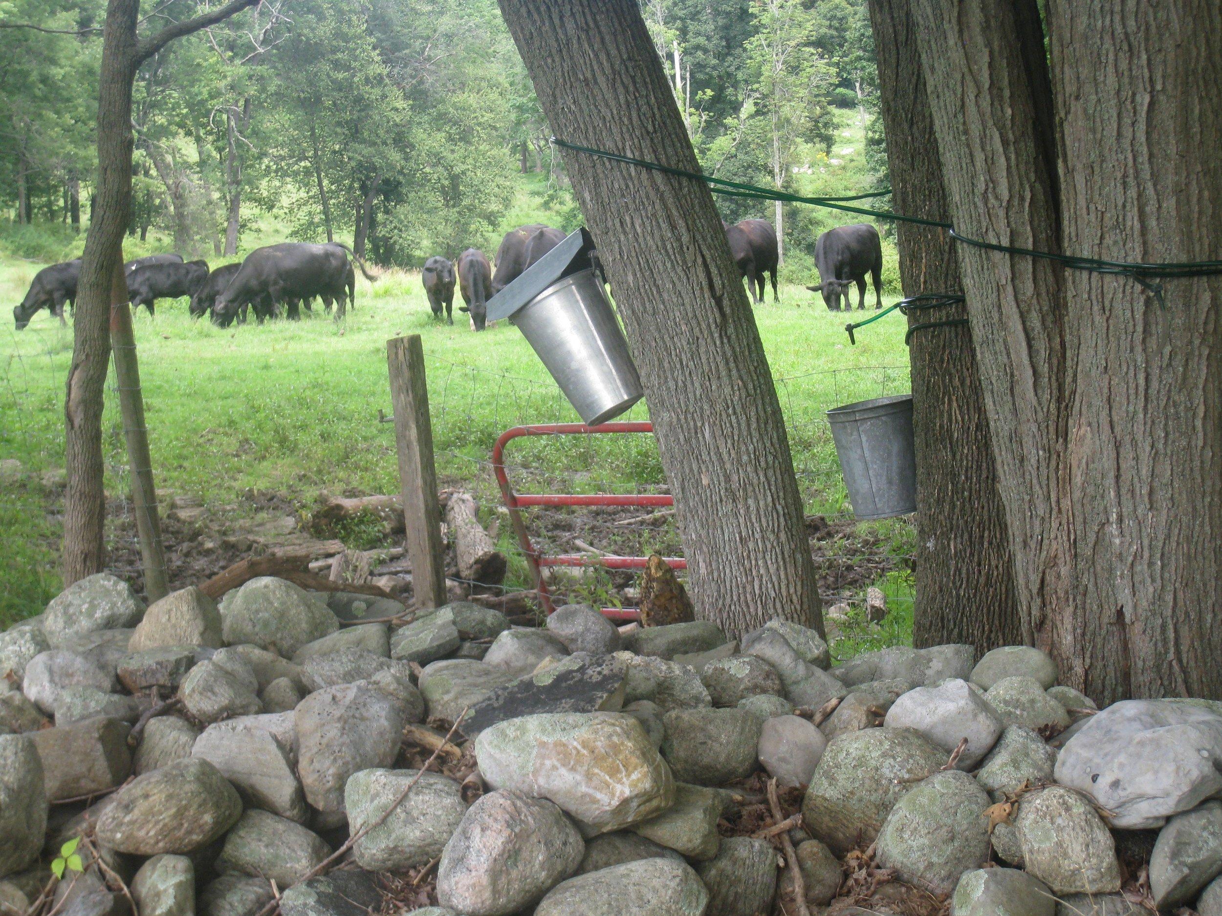 2-Cows&Pails.jpg