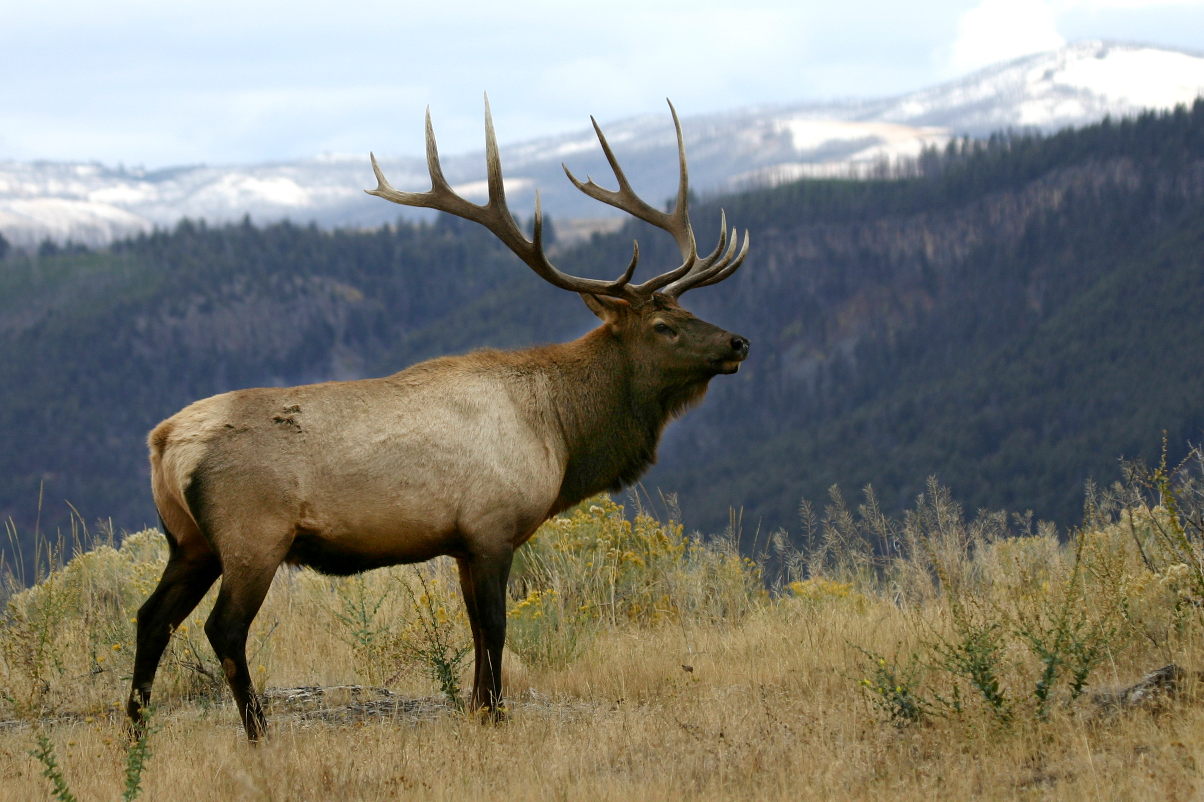 stock-photo-3069519-bull-elk-in-a-beautiful-setting.jpg