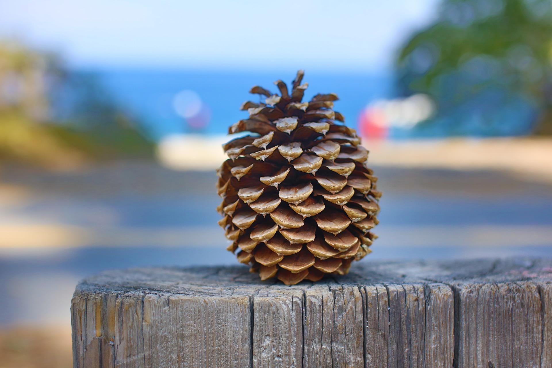 pinecone-1168741_1920.jpg