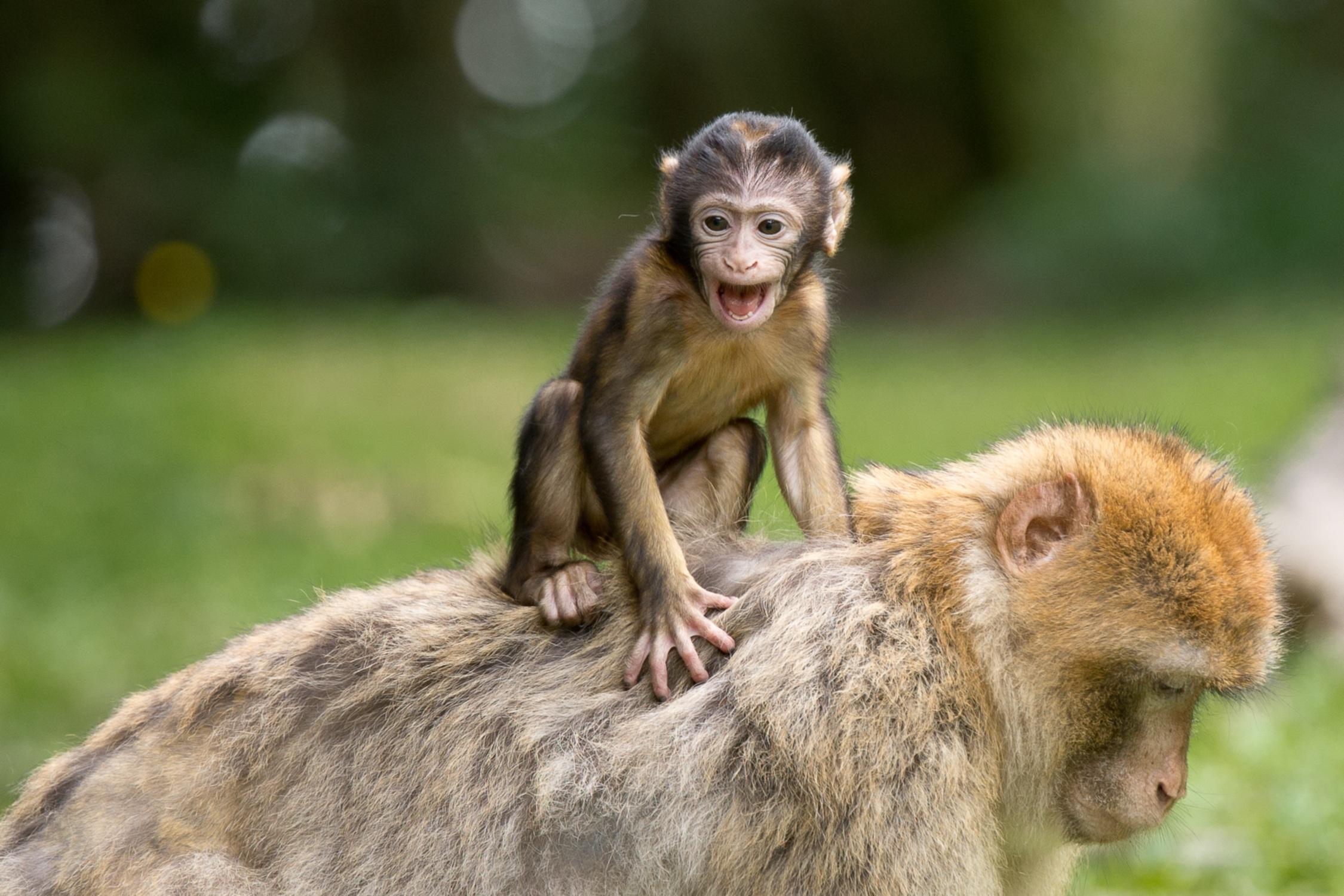 ape-berber-monkeys-mammal-affchen-50988.jpeg