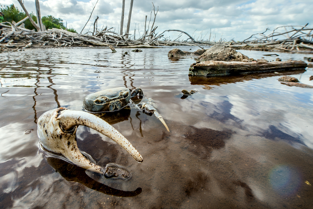 bigstock-Blue-Land-Crab-cardisoma-Guan-113956016.jpg