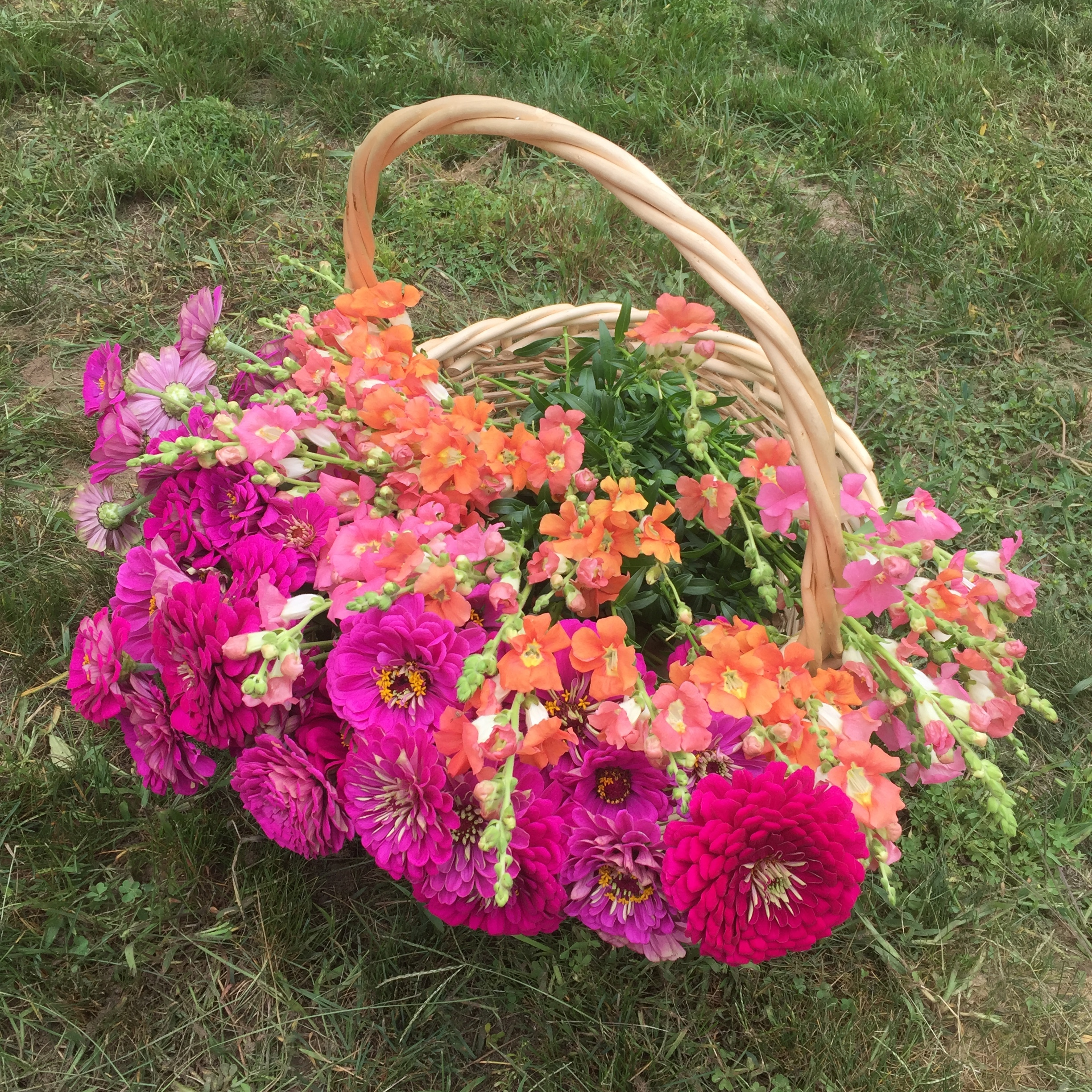 Our Chantilly pink and bronze snapdragons harvested with Benary's Giant purple zinnias.