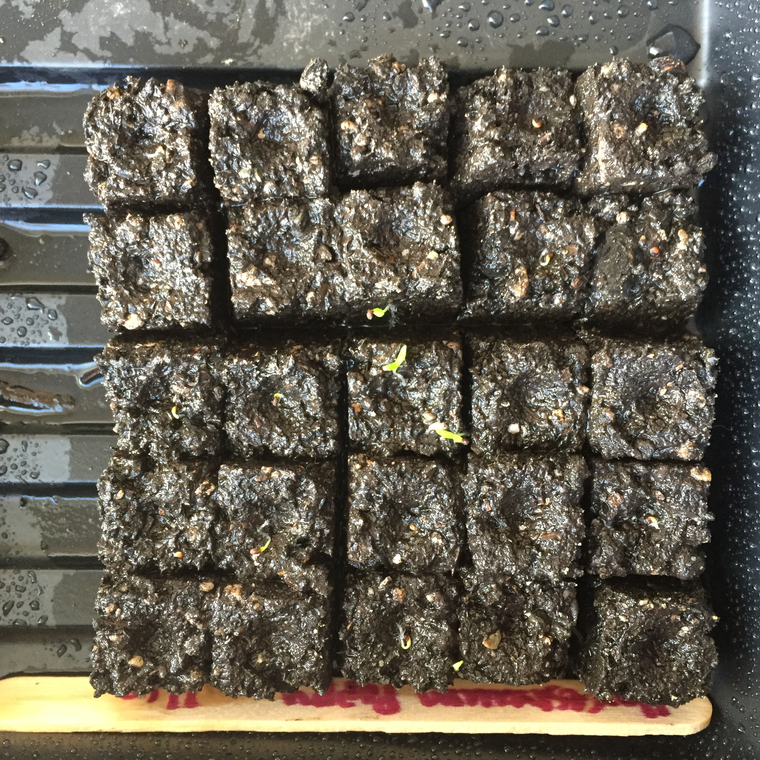 I'm starting successions of 25 Haremstraum poppies at a time. If you look closely you can see some early sprouts here.
