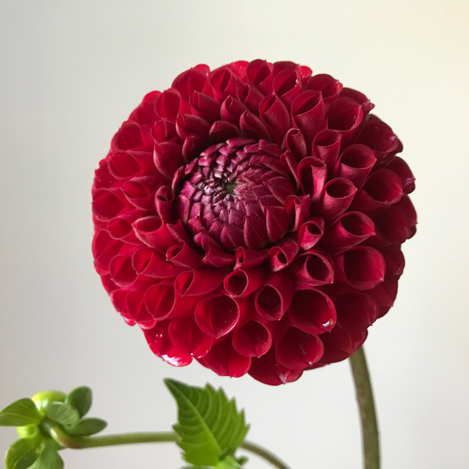 Dahlia Cornel is an industry favorite and it performs well in cold climates, too - offering many stems and resistance to pests (like potato leafhopper).