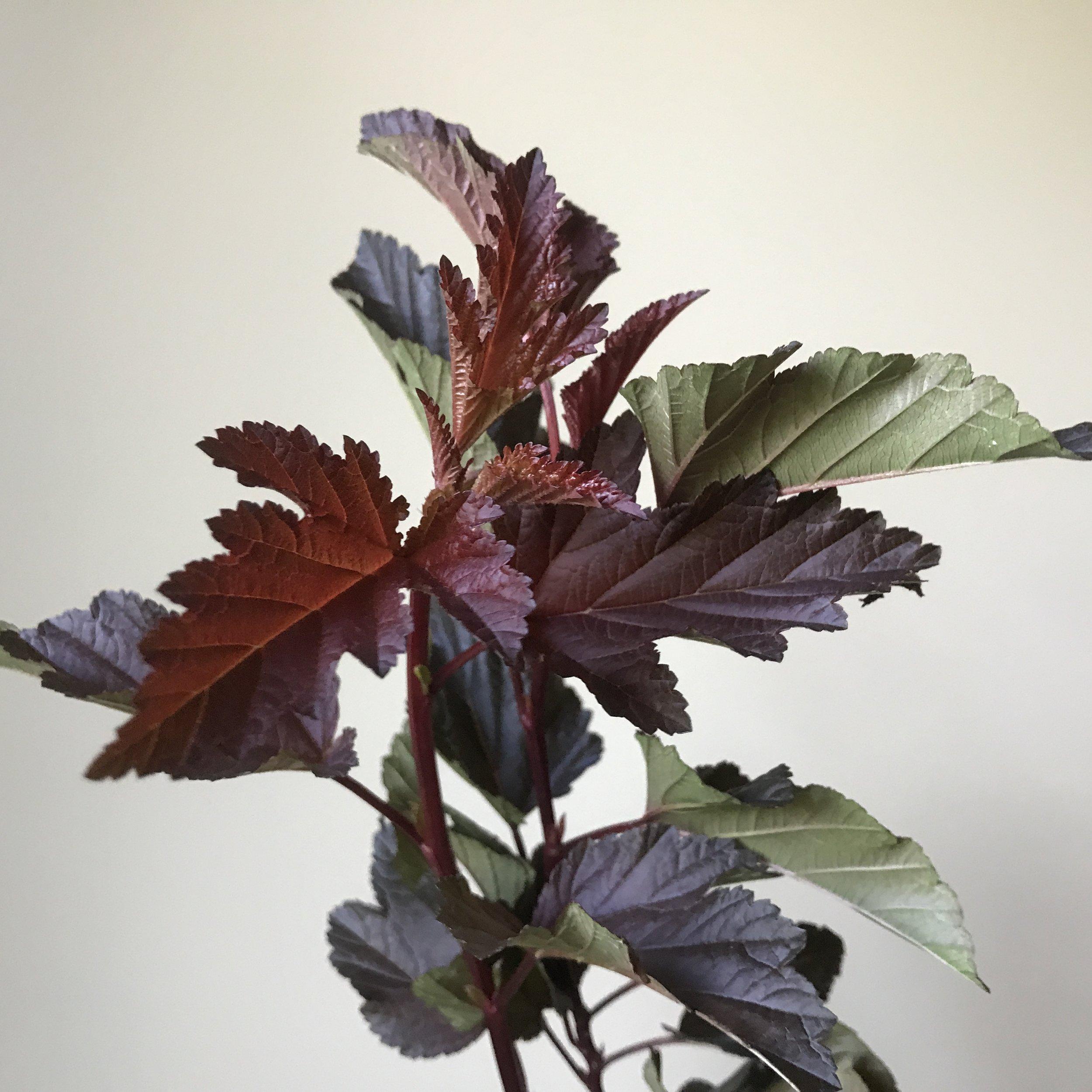 Ninebark foliage