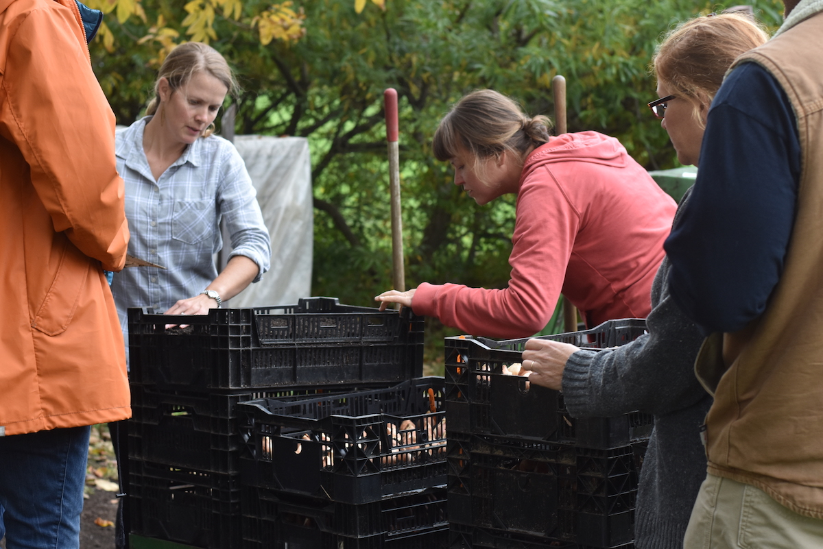 Planting tulip bulbs for winter forcing at the Von Trapp Greenhouse property.
