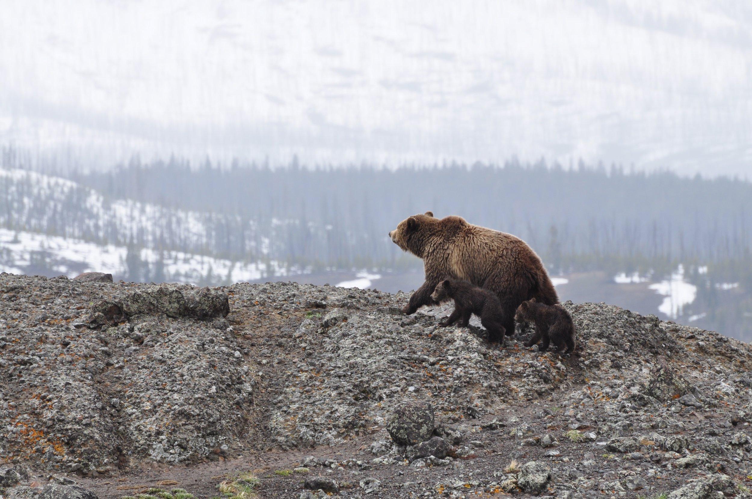 bear yellowstone national park