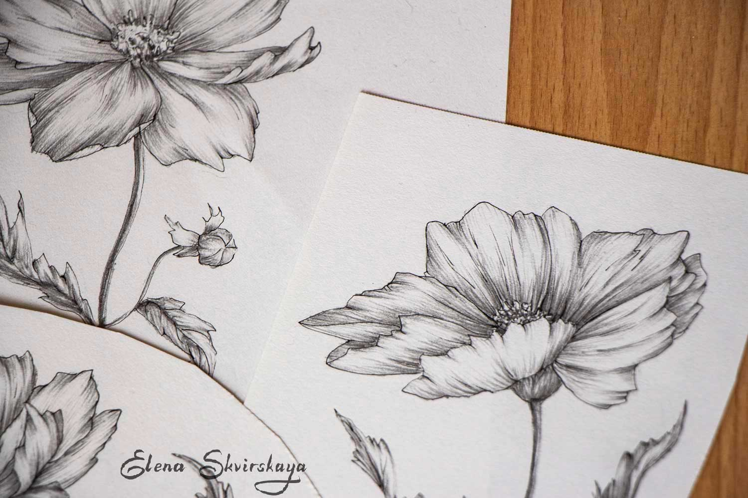 cosmos flowers sketch, graphite, ink pen on paper