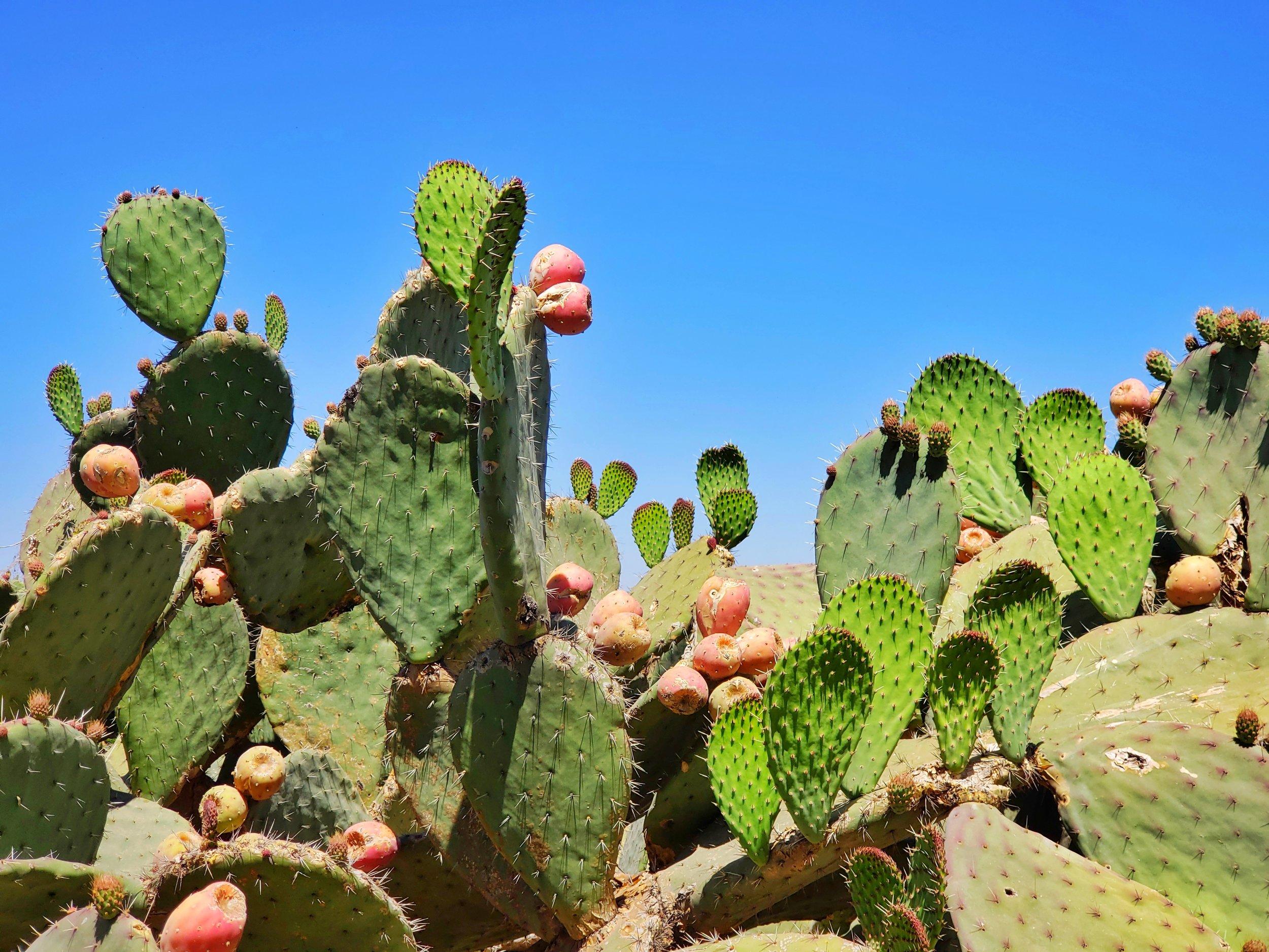Nopales, the most magical cactus around!