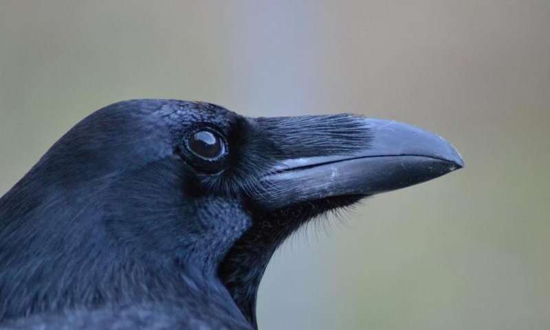 ravensattrib.jpg
