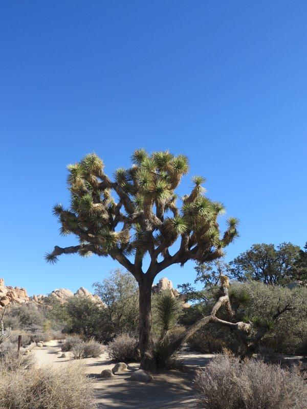 A thriving Joshua Tree