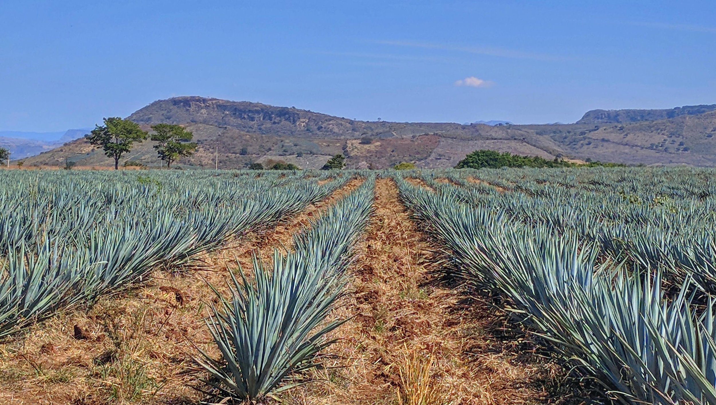 Beautiful fields of blue agave