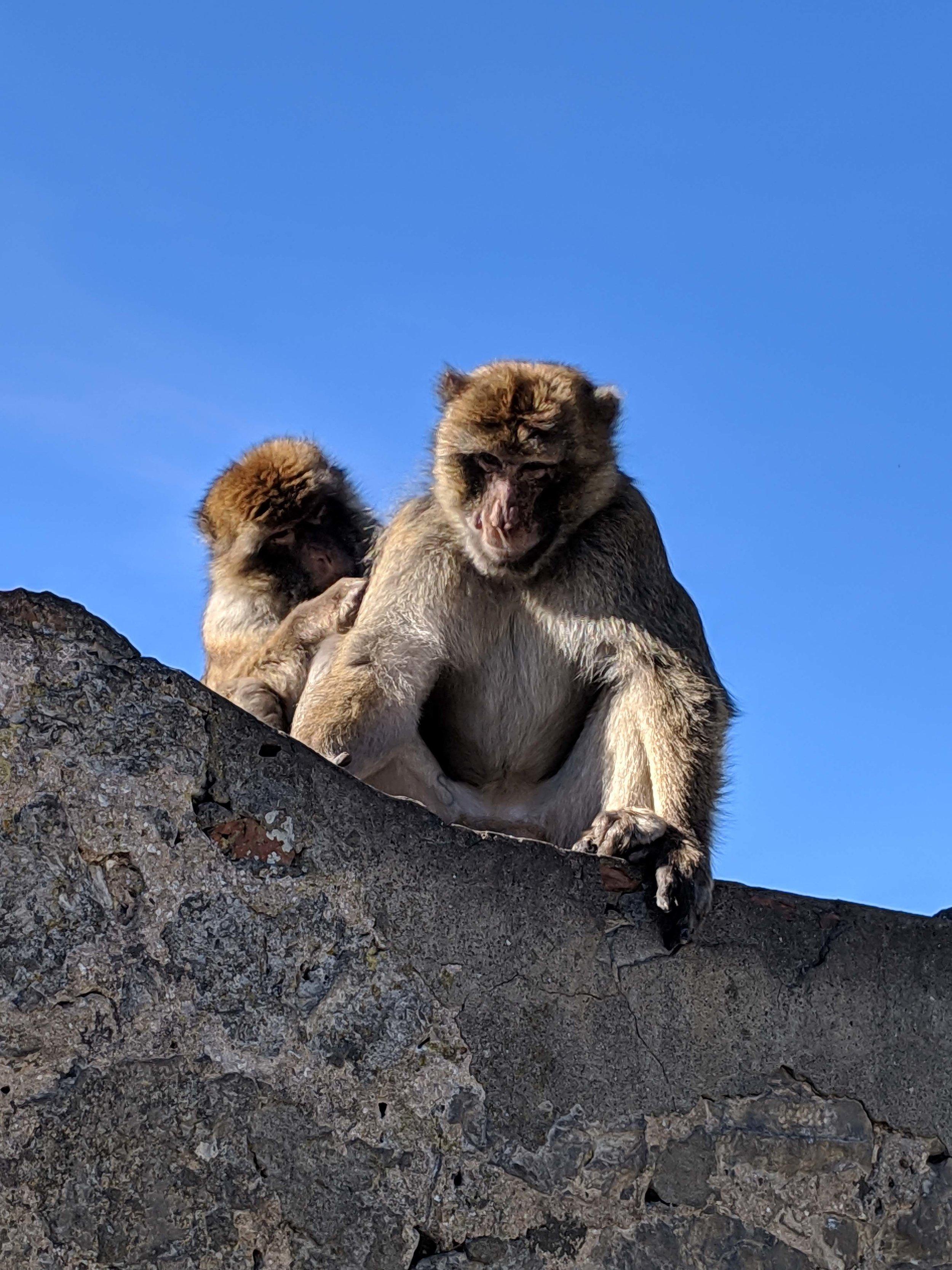 Gibraltar apes.jpg