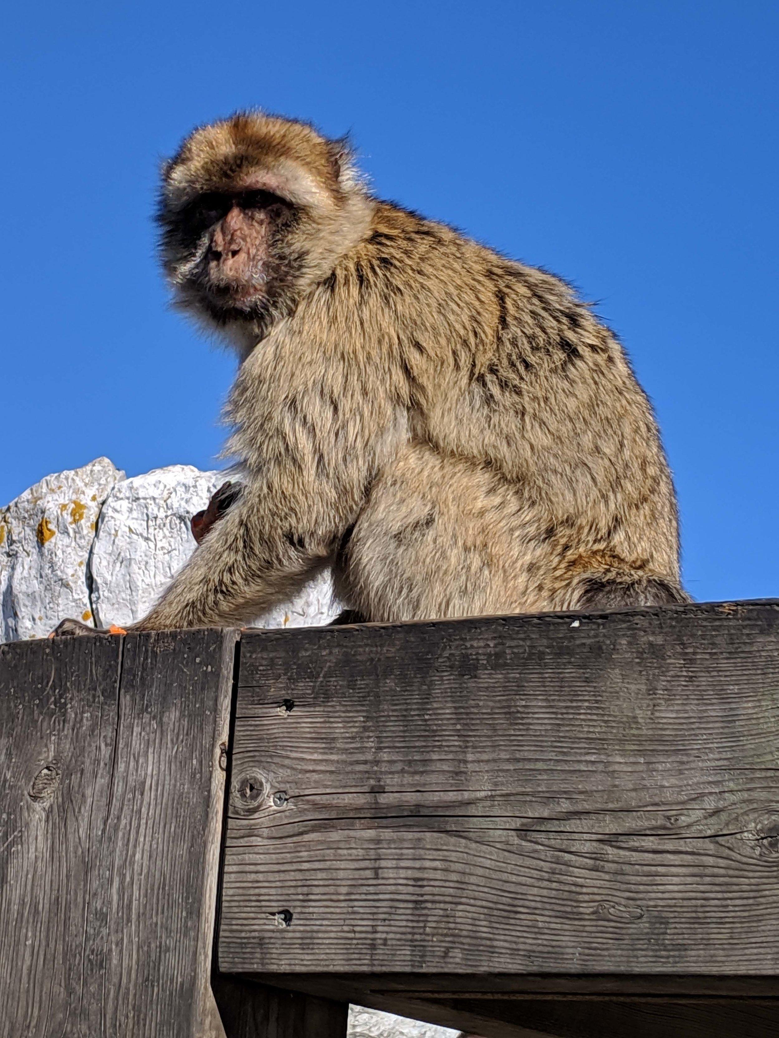 Gibraltar apes 3.jpg