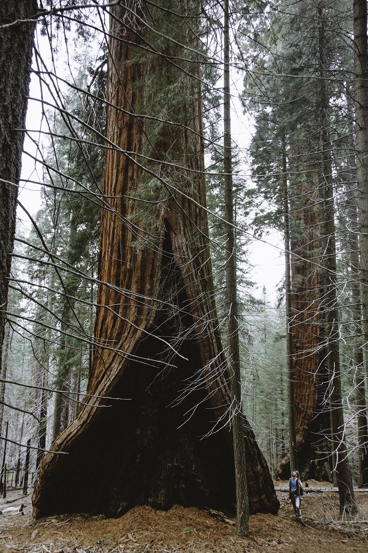 sequoia-7.jpg