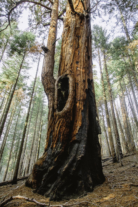 sequoia-9.jpg
