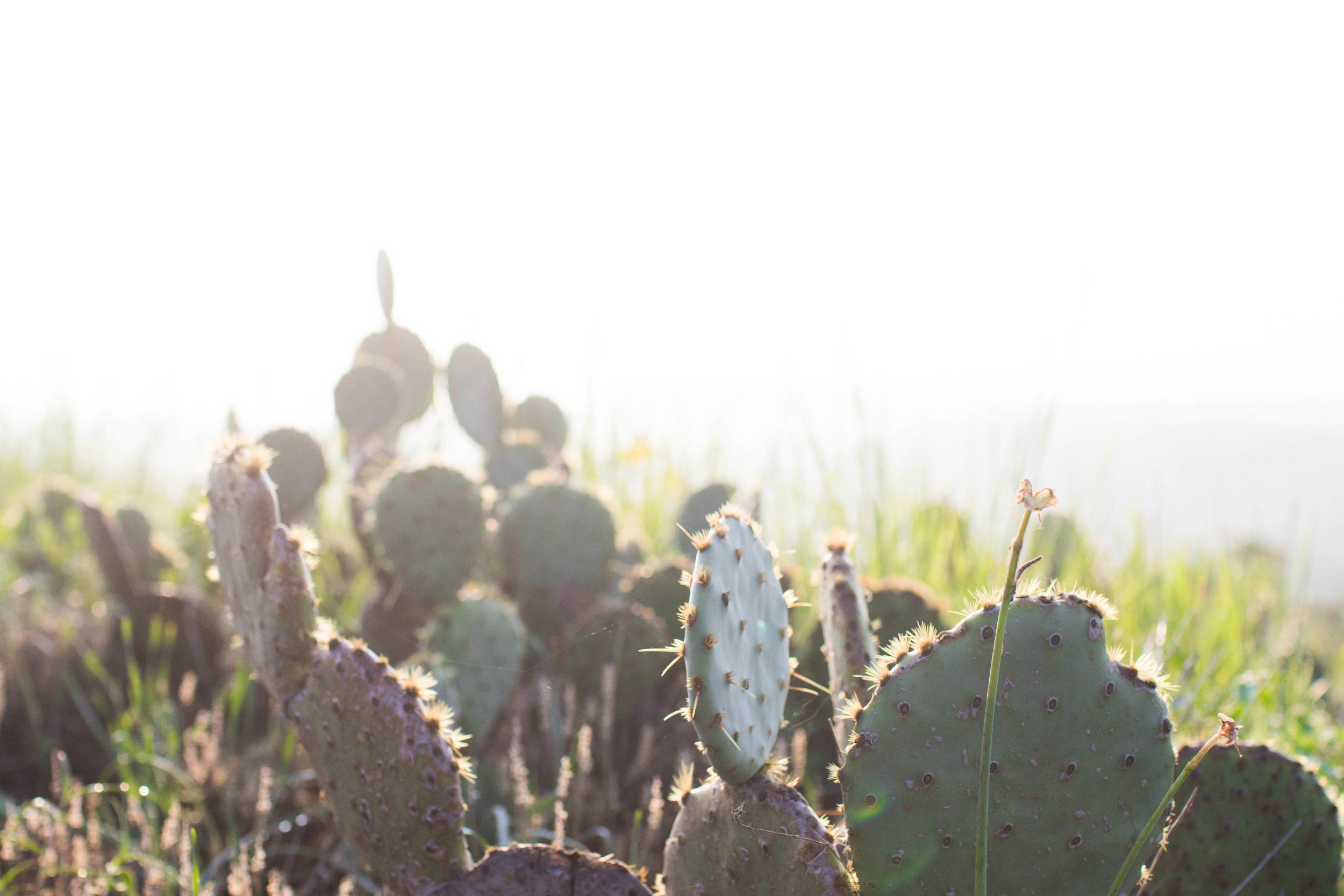 texas-cactus-photos-by-samantha-look.jpg