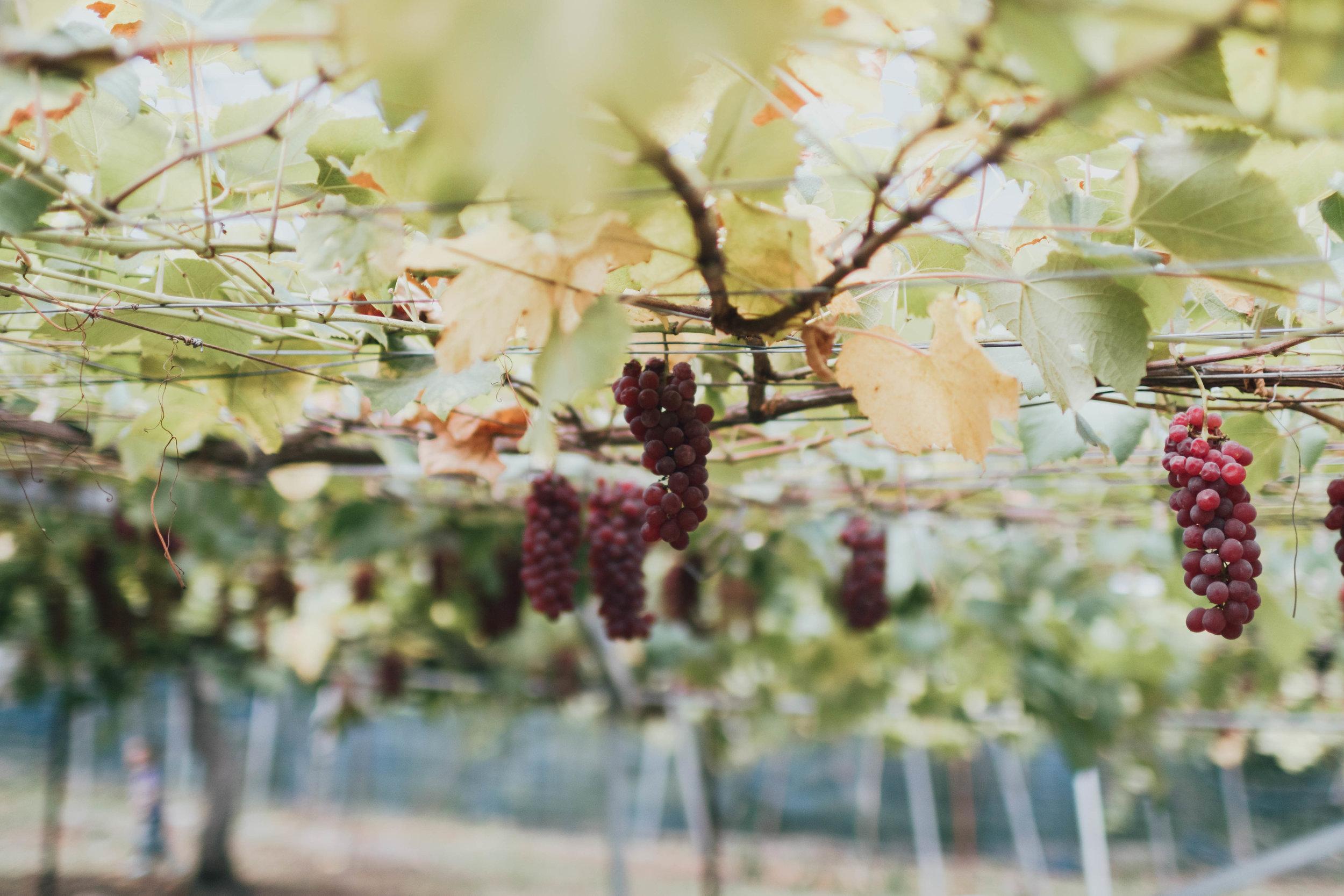 hiratakankono-orchard-photos-by-samantha-look.jpg
