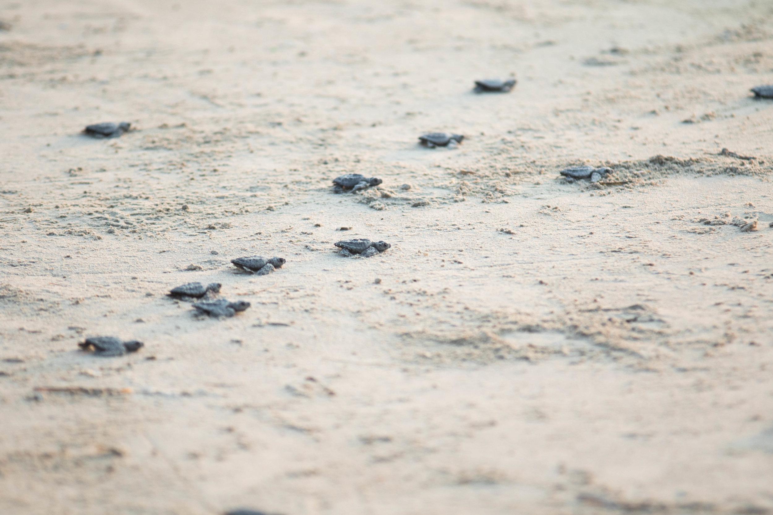 turtle-release-texas-photos-by-samantha-look.jpg