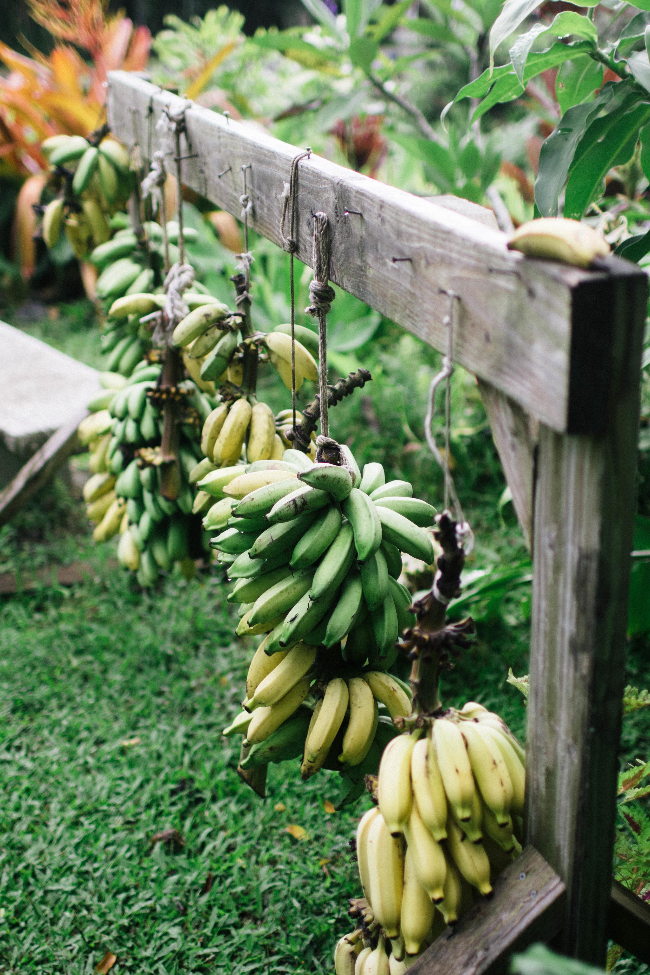 hana-farms-banana-photo-by-samantha-look.jpg