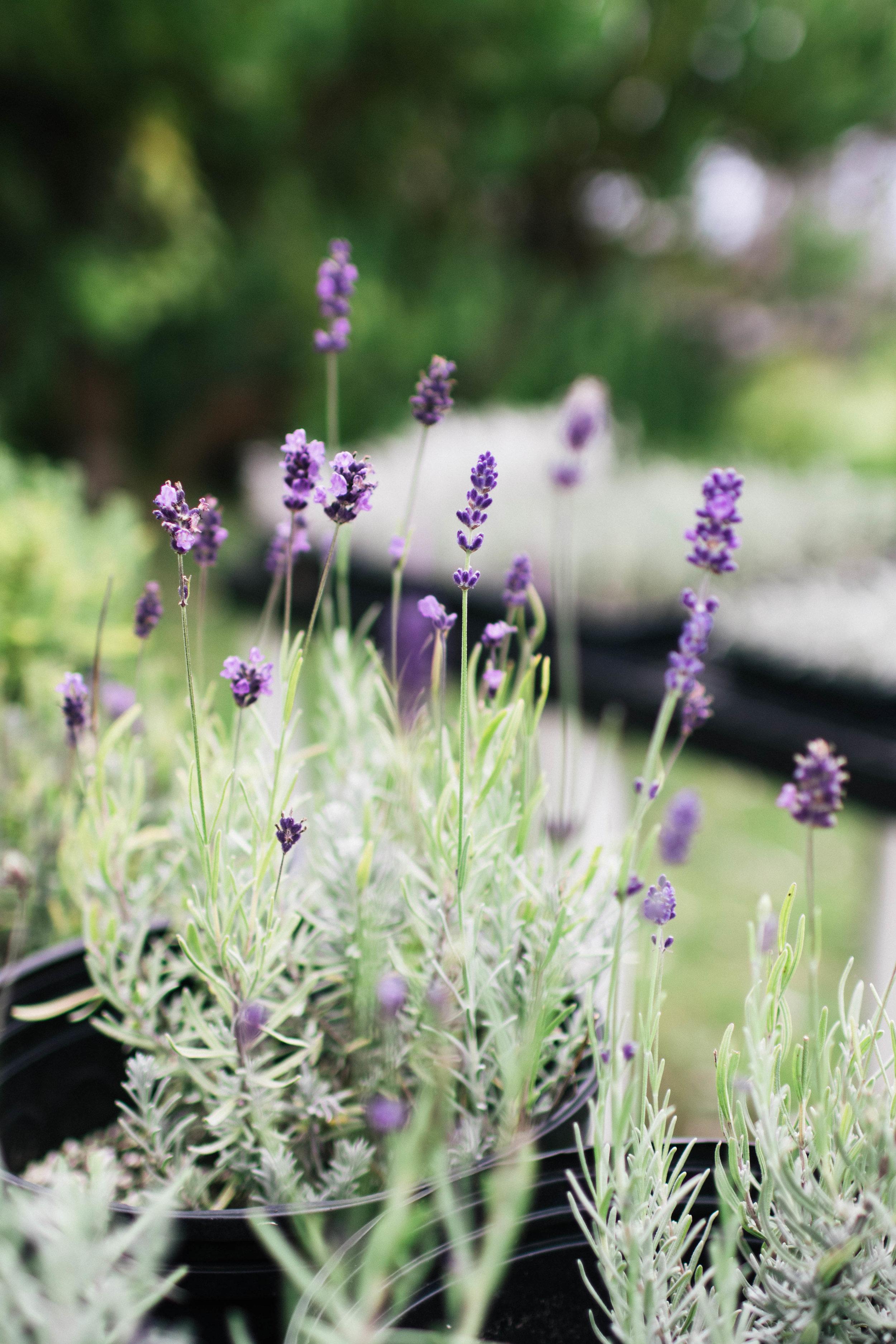 alii-kula-lavender-farm-maui-photo-by-samantha-look.jpg