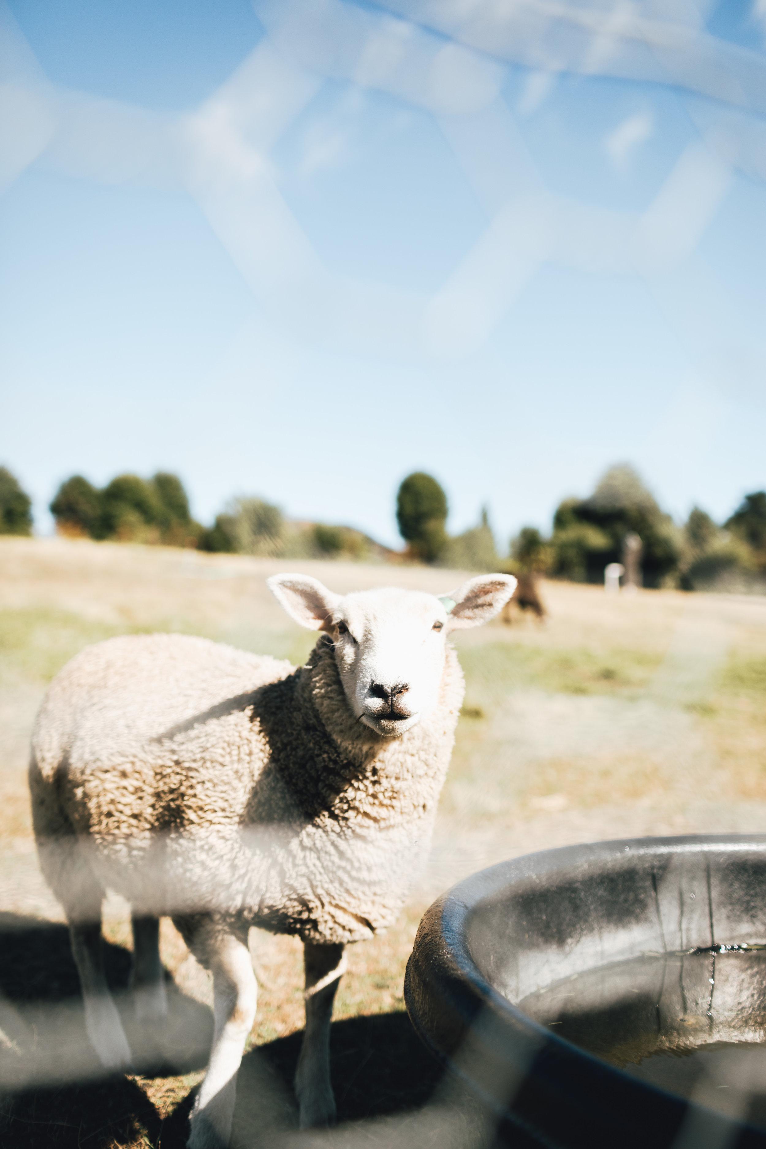 new-zealand-wanaka-lavender-farm-by-samantha-look.jpg