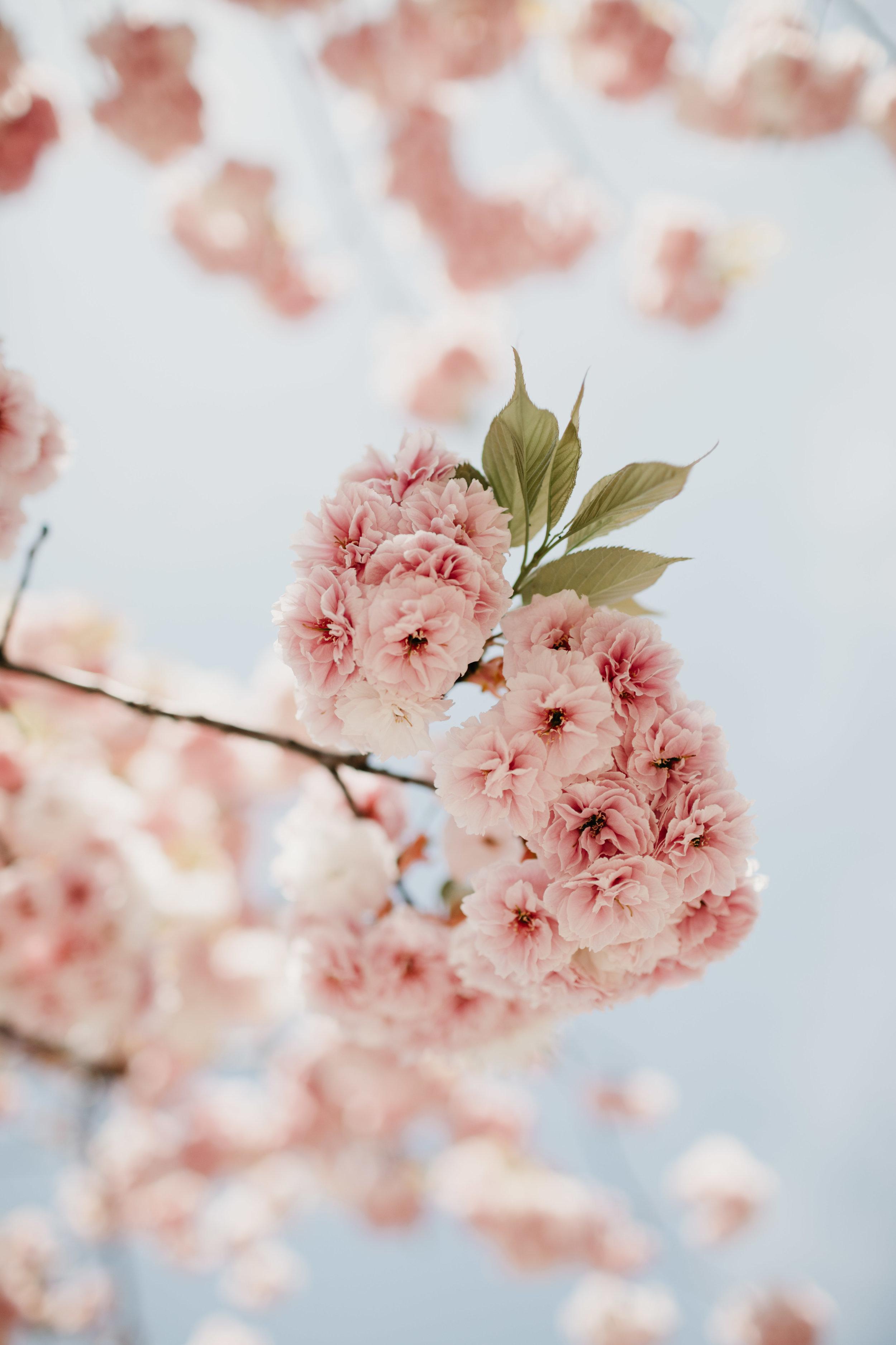 tokyo-sakura-photo-by-samantha-look.jpg