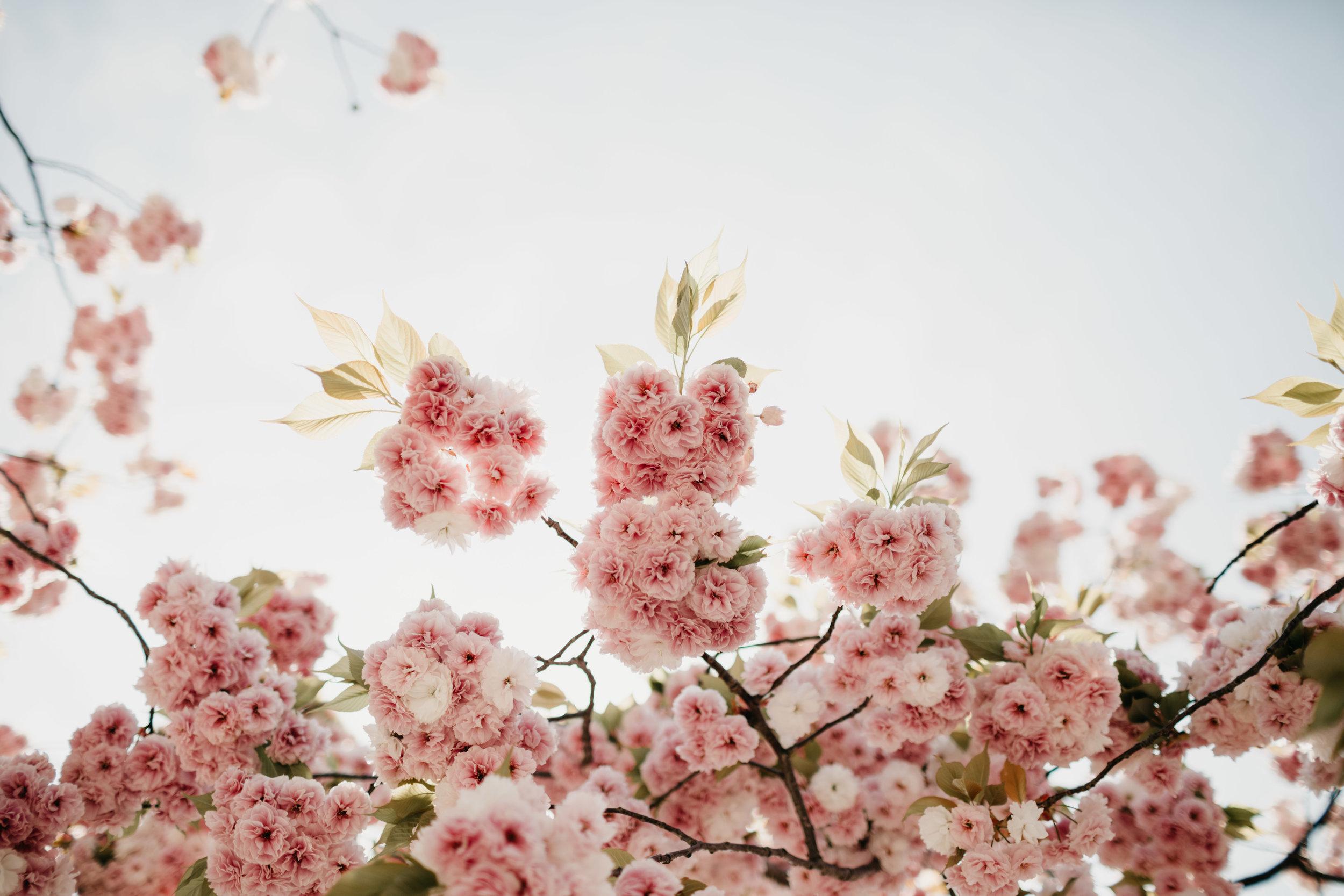 sakura-tokyo-photo-by-samantha-look.jpg