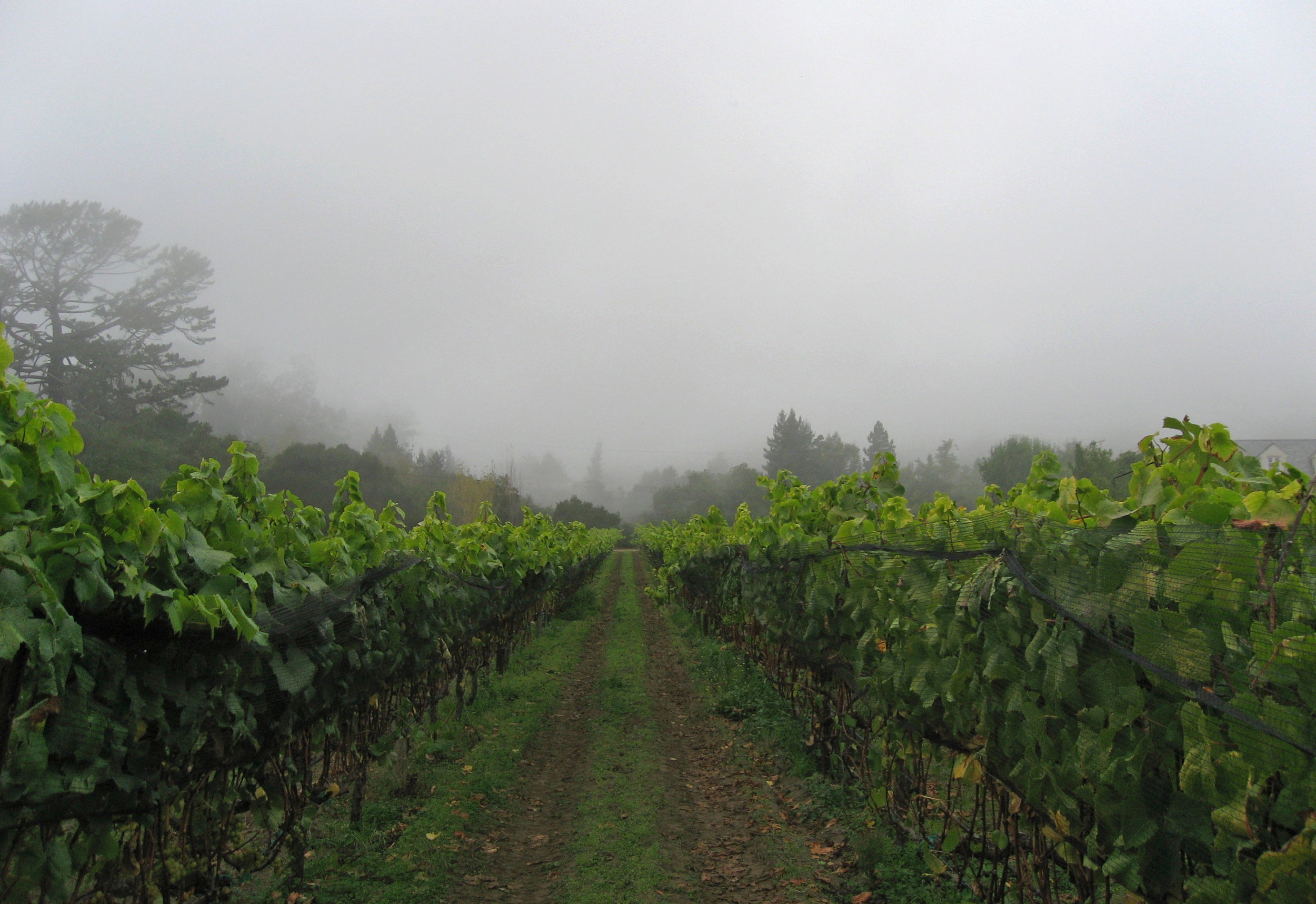 Cool climate vineyard, Santa Cruz Mountains