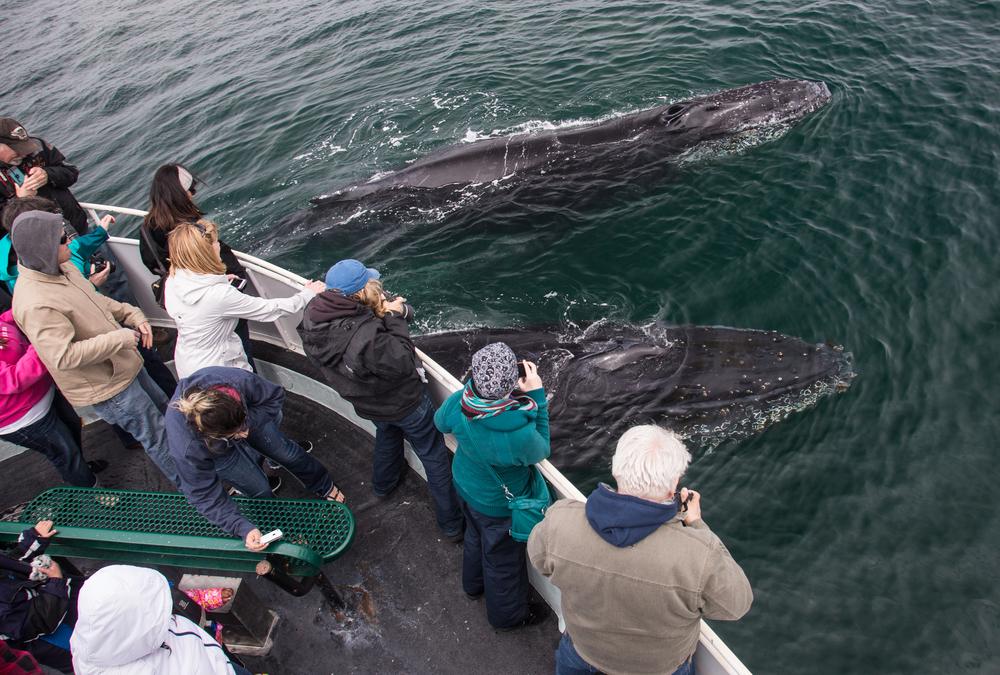 In New York bay, humpback whales make a dramatic comeback