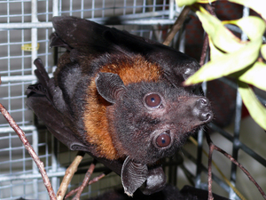 Going batty: studying natural reservoirs to inform drug development