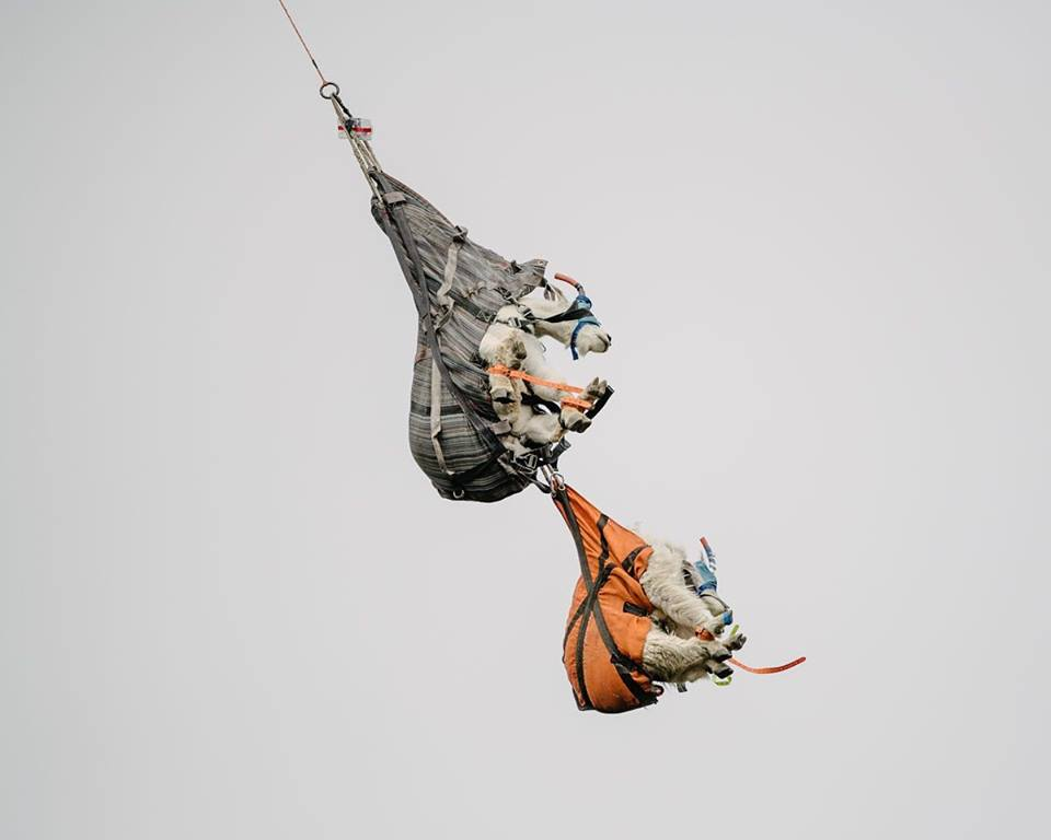 Mountain goat eradication is a high-flying balancing act in Olympic National Park