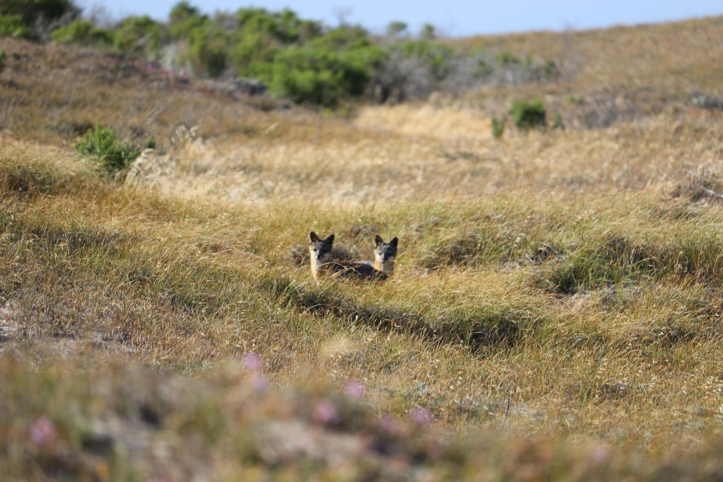 Double Headed Coyote