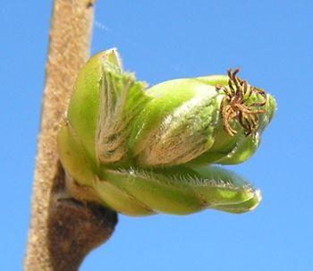 new-nut-old-flower.jpg