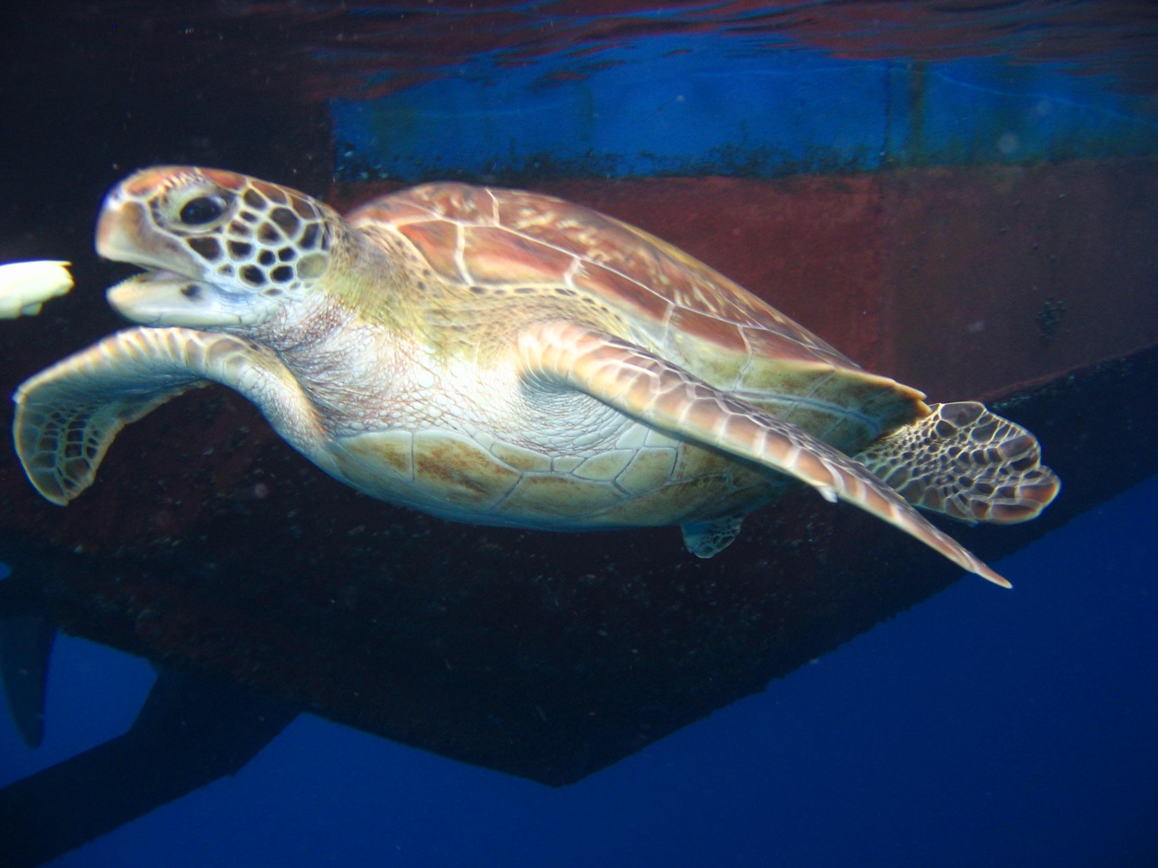 Sea Turtle Similian Islands Thailand
