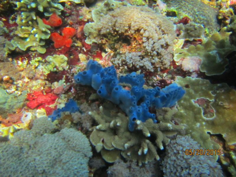 BLUE CORAL - LEMBONGAN ISLAND -