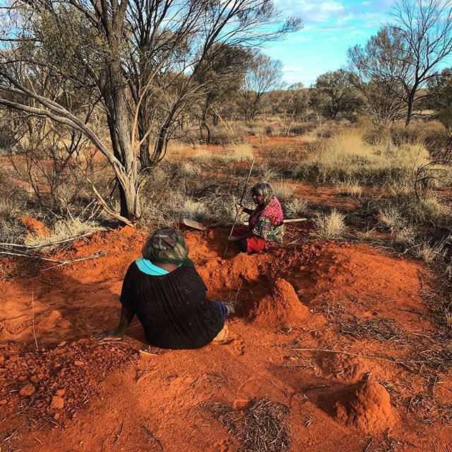 Yirliltu (honey ant) hunting a few weeks ago. Judith and Eunice jackpot!  It has been a privilege learning from these very special women on their very special country ❤️
