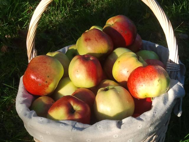 Økologiske epler har melkesyrebakterier på skallet.