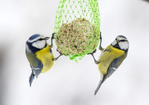 Fra forskning.no: To blåmeiser forsyner seg av en meisebolle.(Foto: Steinar Myhr / NN / Samfoto)
