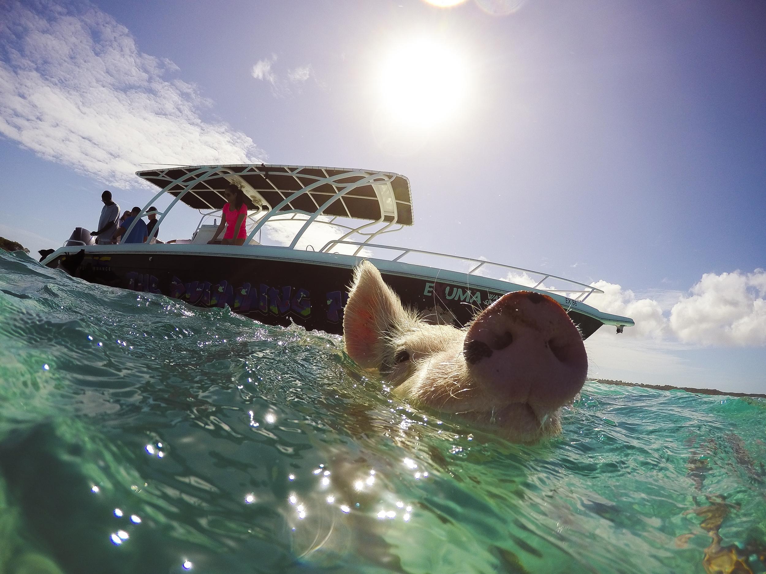 Swim with Pigs at Grand Isle Resort