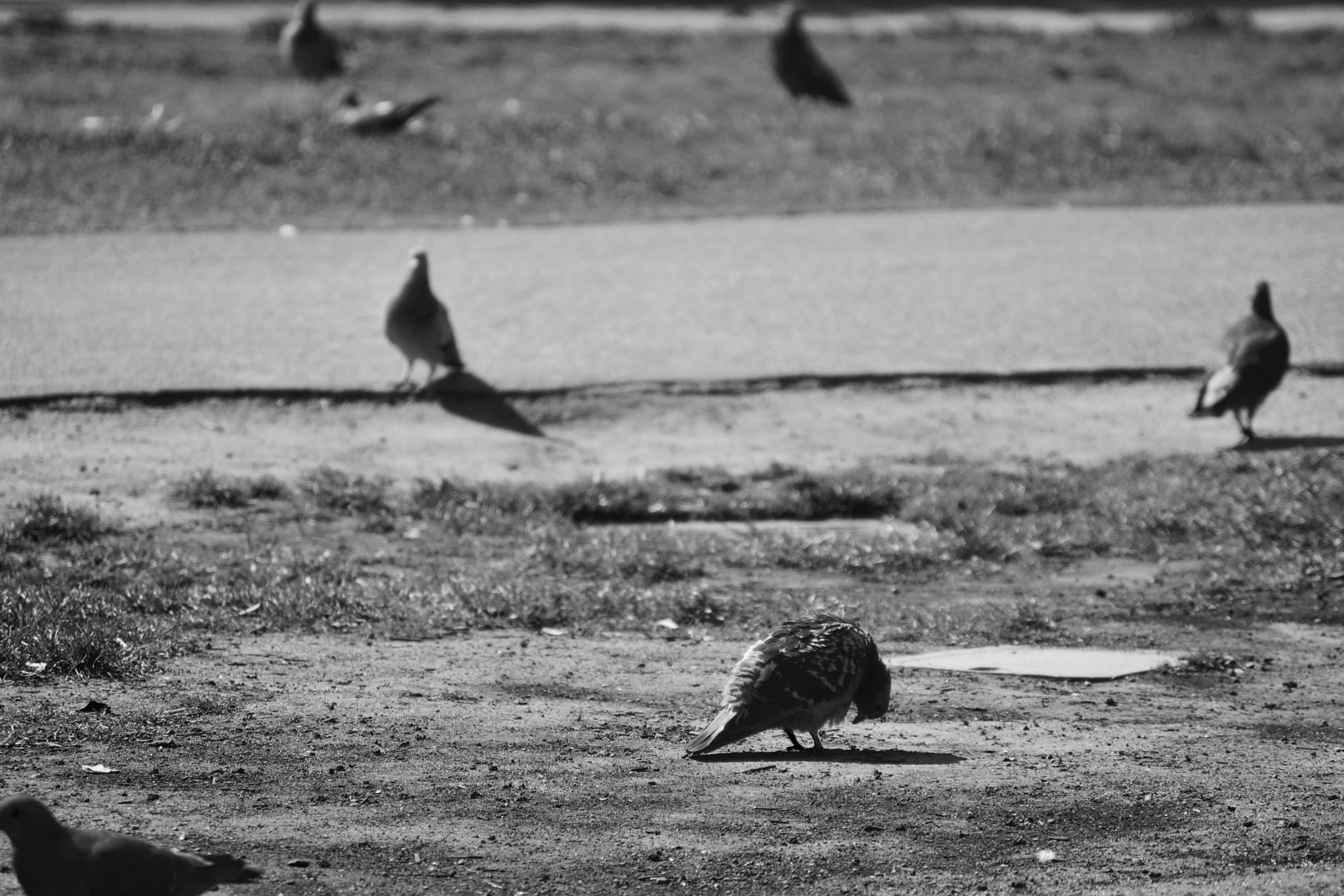 Real Pigeons of Santa Monica